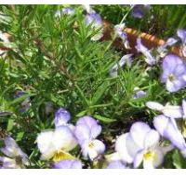 Buy cheap Rosemary Extract (Carnosic acid liquid) product