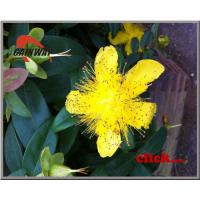Buy cheap St John Wort Extract from wholesalers