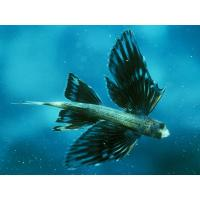 Buy cheap 2012 funny RC Helium Flying Fish from wholesalers