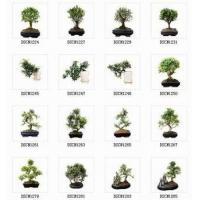 Buy cheap Bonsai/Pot Plant/Indoor Plant from wholesalers