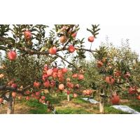 Buy cheap Grade A , B Red Fresh Fuji Apple Sweet Tasty For Apple Crisp / Cake, Golden yellow fruit surface, glossy from wholesalers