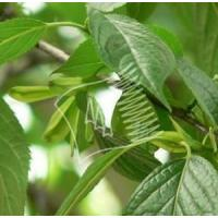Buy cheap Ecommia Leaves Extract from wholesalers