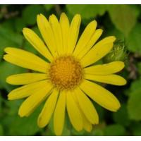 Buy cheap Good quality Arnica Flower Extract, Arnica Montana Flower Extract 10:1 TLC from wholesalers