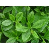Buy cheap Ginseng Leaves Extract product