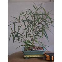 Buy cheap Bare rooted Ficus ginseng bonzai (Mini Plants) from wholesalers