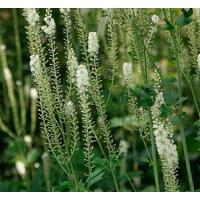 Buy cheap Black cohosh P.E from wholesalers