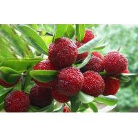 Buy cheap Bayberry Bark Extract, Myricetin 60%,80%,90%,98% from wholesalers