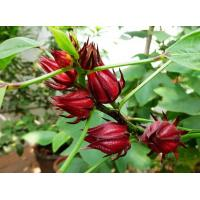 Buy cheap Hibiscus Flower Extract powder 10:1 from wholesalers