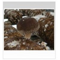 Buy cheap Shiitake Logs from wholesalers