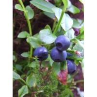 Buy cheap Bilberry Extract from wholesalers