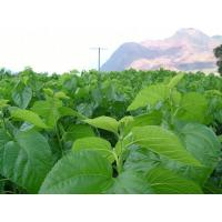 Buy cheap Mulberry Leaf P.E. product