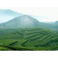 Buy cheap organic green tea from wholesalers