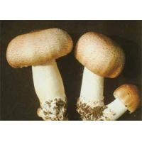 Buy cheap Agaricus Blazei Murill powder from wholesalers