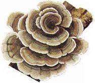 Buy cheap Coriolus versicolor powder from wholesalers