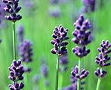 Buy cheap Essential Oil from wholesalers
