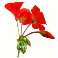 Buy cheap Geranium Essential Oil from wholesalers