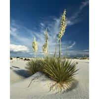 Buy cheap Soap Tree Yucca from wholesalers