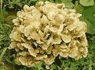 Buy cheap Botanical Extracts Maitake Mushroom from wholesalers