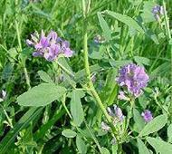 Buy cheap Alfalfa Extract,Medicago Extract from wholesalers