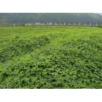 Buy cheap Factory Intro Jiaogulan Plantation from wholesalers