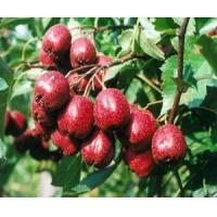 Buy cheap Hawthorne Leaf Extract from Wholesalers