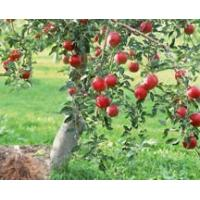 Buy cheap Standardized Extract Apple Root Bark Extract product