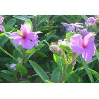 Buy cheap Vinpocetine-Periwinkle plant Extract Vinca Minor L from wholesalers