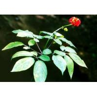 Buy cheap Panax Ginseng Leaves Extract product