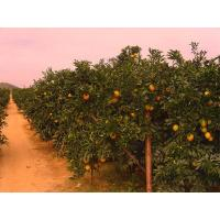 Buy cheap Navel orange orchard from wholesalers
