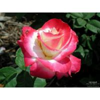 Buy cheap AP-FL-102 flower oil painting from wholesalers