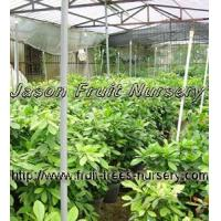 Buy cheap Miracle Fruit Trees from wholesalers