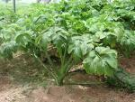 Buy cheap Angelica keiskei from wholesalers