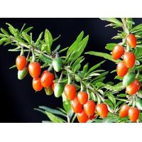 Buy cheap Barbary Wolfberry Fruit from wholesalers
