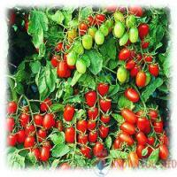 Buy cheap Tomato from wholesalers