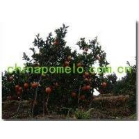 Buy cheap china Navel Orange from wholesalers