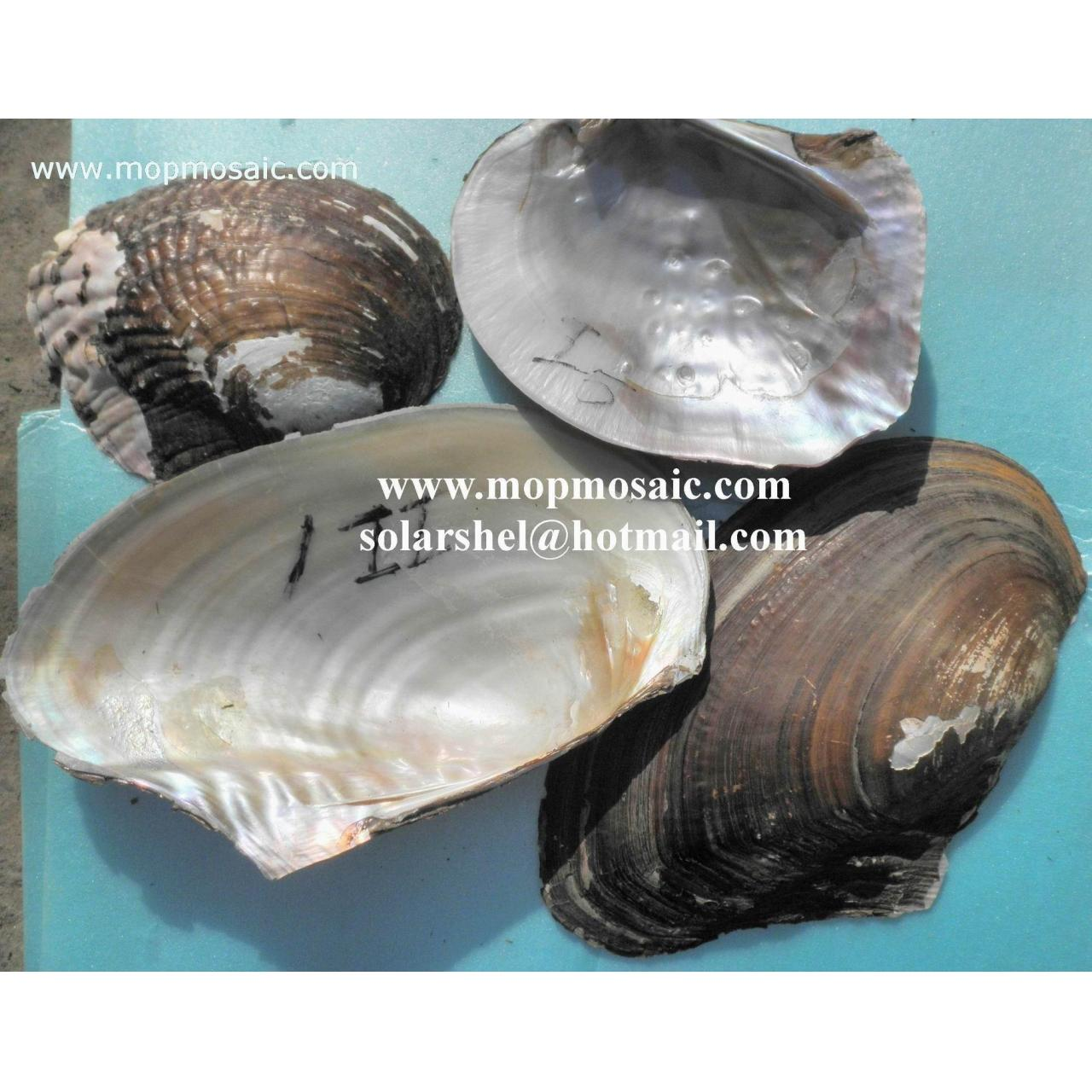 Buy cheap River Shell,Triangle Shell product