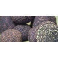 Buy cheap Tuber indicum Cook et Massee from wholesalers