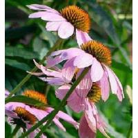 Buy cheap Standardized Extracts :Echinacea Extract from wholesalers