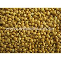 Buy cheap Cereals, Seeds, OilYellow broomcorn millet from wholesalers