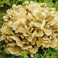 Buy cheap Standardized Extracts :Maitake Mushroom Extract from wholesalers