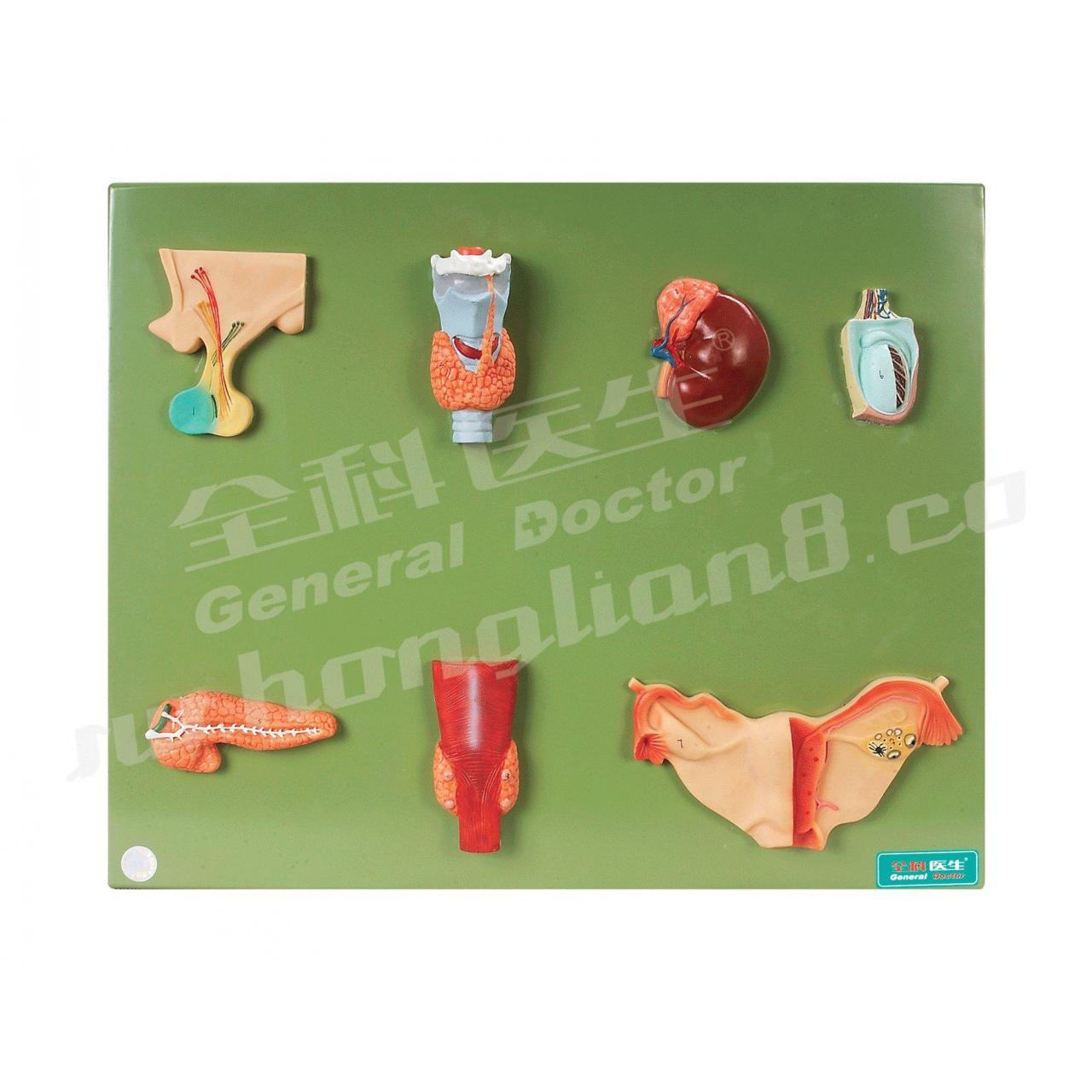 Buy cheap 【Article name】GD/A19002 ENDOCRINE ORGAN MODEL from wholesalers