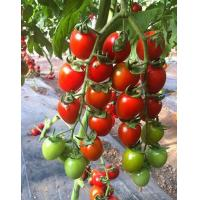 Buy cheap Mantian 2018 F1 tomato from wholesalers
