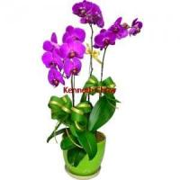 China 3pcs Taiwan Purple Color Orchids on sale