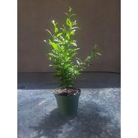 Buy cheap Dwarf Pomegrante Tree Container/Patio/Bonsai Size from wholesalers