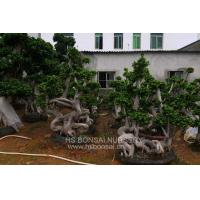 Buy cheap Ficus microcarpa Ficus microcarpa compact bonsai . subtriopical plants from wholesalers