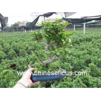 Buy cheap Ficus Microcarpa Ficus formosana from wholesalers