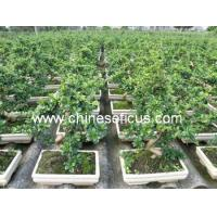 Buy cheap Ficus Microcarpa Carmona microphylla from wholesalers