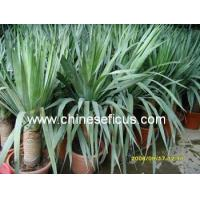 Buy cheap Ficus Microcarpa Yucca filamemtosa from wholesalers