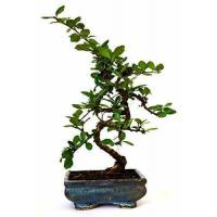 Buy cheap 9GreenBox - Fukien Tea Bonsai with 6 Ceramic Pot from wholesalers