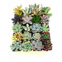 Buy cheap Shop Succulents Unique Succulent Collection of 5 from wholesalers